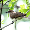 Black-billed Cuckoo @ Magee Marsh WA, May 2010