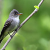 Eastern Wood Pewee @ Highbanks - May 2009