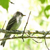 Eastern Wood Pewee @ Magee Marsh - May 2012