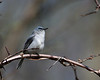 Blue-Grey Gnatcatcher @ Highbanks - April 2010