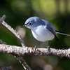 Blue-grey Gnatcatcher @ Shawnee State Forest - April 2012