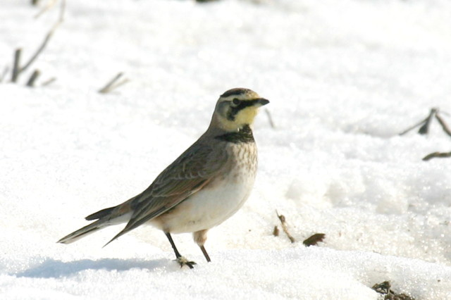Horned Lark @  Wyandotte Co - Winter 2005