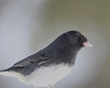 Dark eyed Junco in Backyard - Feb 2010