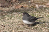 Dark-eyed Junco @ Greenlawn Cemetery, January 2008