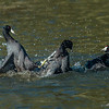 Coot sees his sibling in trouble and comes to the rescue!
