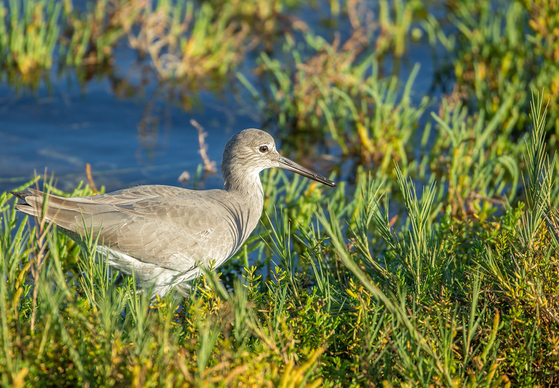 Willet at sunset
