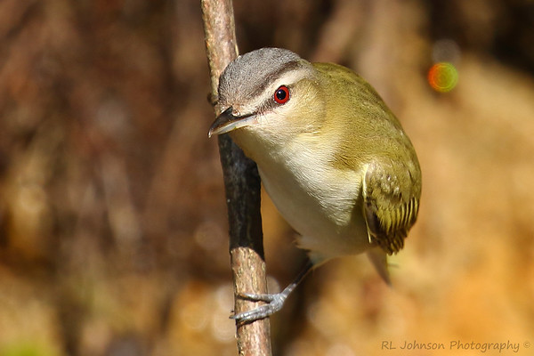 Red-eyed Vireo - Haywood County, NC