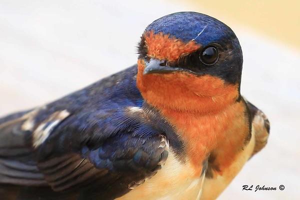 Barn Swallow - Libertyville, IL