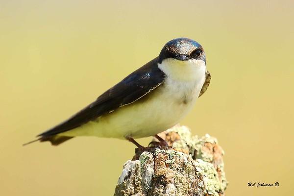 Tree Swallow - Haywood County NC