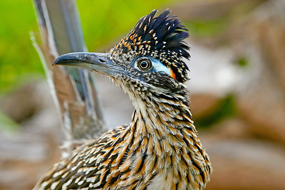 The greater roadrunner, Geococcyx californianus, occurs in the southwestern corner of Utah. Photo by Lynn Chamberlain, Utah Division of Wildlife Resources.