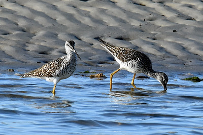#1595  Greater Yellowlegs