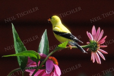 #1163 Goldfinch, male