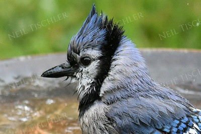 #1205  Blue Jay bathing.  All members of our Blue Jay family delighted in taking turns bathing in our bird bath.