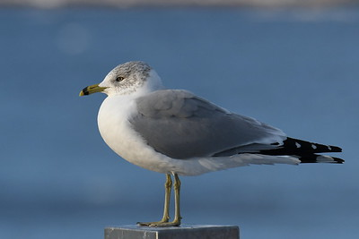 #1644   Ring-billed Gull   at Newburyport, MA  in  January 2020