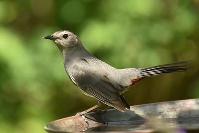 #1657  Gray Catbird