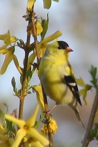 #256  A American Goldfinch, male on forsythia in springtime