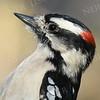 #1154  Downy Woodpecker portrait, male