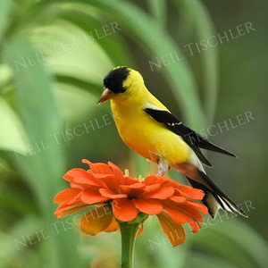 1356  American Goldfinch, male on orange zinnia