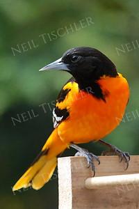 #596  A Baltimore Oriole on a feeder