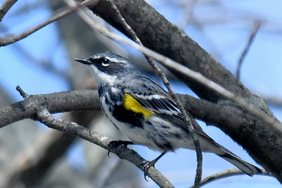 #1546  Yellow-rumped Warbler, male