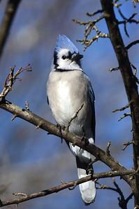 #1714  Blue Jay