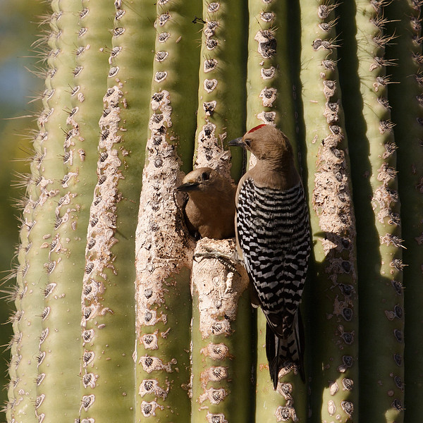Gila woodpecker couple