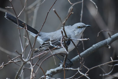#1630  Mockingbird in thicket