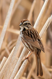 #1629  Savannah Sparrow  in marsh