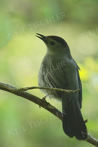 #935  A gray catbird singing