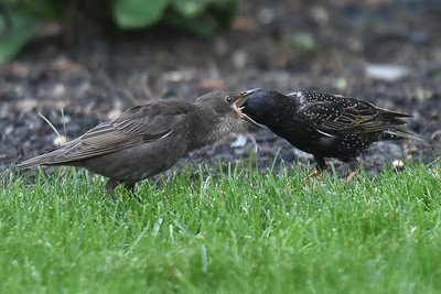 #1518  Starling parent feeding fledgling