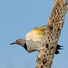 Gilded flicker taking off