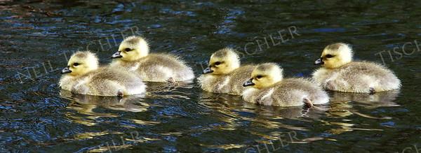 #820  Canada geese goslings