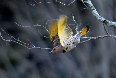 #1503  Northern Flicker, yellow-shafted, female in flight.