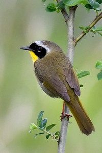 #1544  Common Yellowthroat Warbler, male