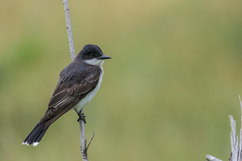 American Kingbird