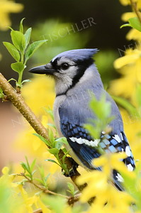 #1051  A blue jay sits among forsythia shrubs that bloom in spring