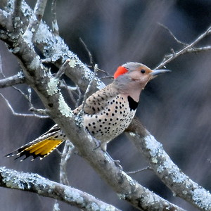 #1633  Northern Flicker, female