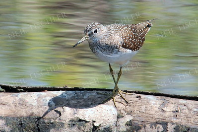 #845  A Solitary Sandpiper turning about on a log