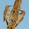Pair of Gilded Flickers sharing dead cactus