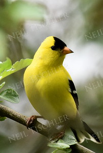 #1164  Goldfinch portrait, male