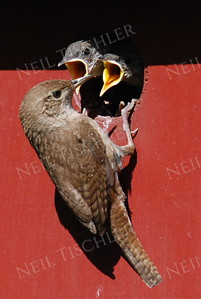 #902  A house wren feeding its nestlings