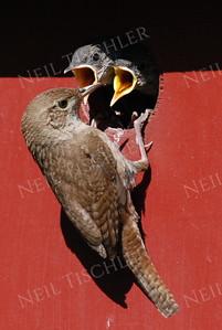 #902  A house wren feeding its nestlings