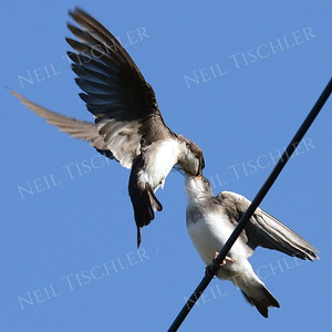#960  A tree swallow feeding its young