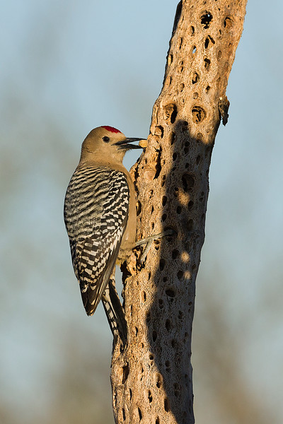 Gila woodpecker with nut