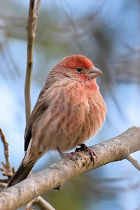 #1573  House Finch, male