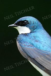 #909c  Tree Swallow portrait, male  4x6 Vert