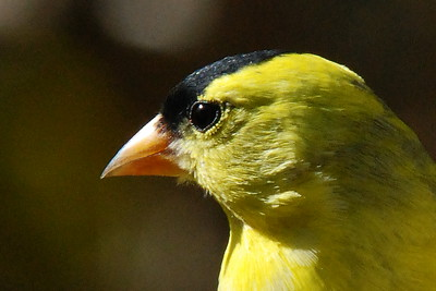 #844  A male American Goldfinch portrait