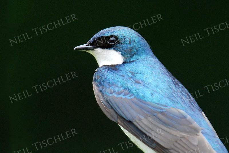 #909b  Tree Swallow portrait, male  4x6 Horiz