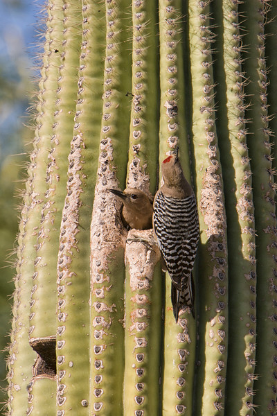 Gila woodpecker family