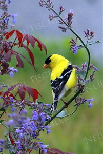 #875  A male American Goldfinch sits among spring flowers
